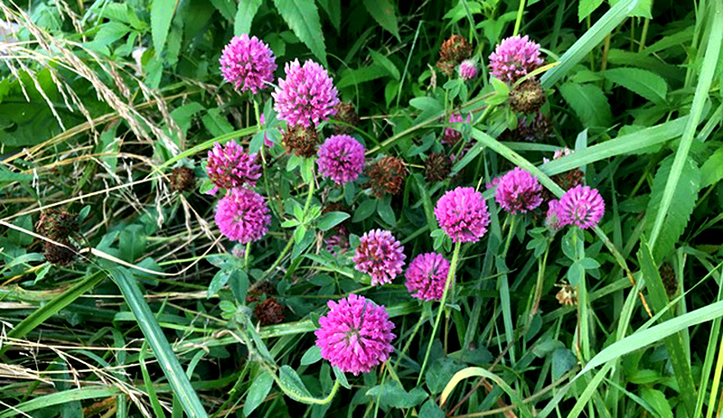 red clover forage health