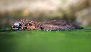 beaver beavers