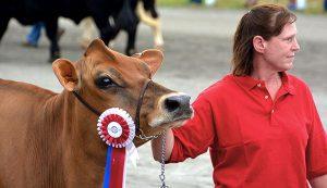 county fair cow cattle livestock