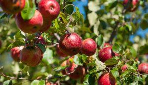 fruit trees overproducing apples