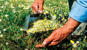 herbs chamomile flowers