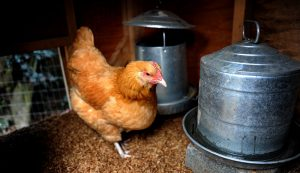chicken coop security
