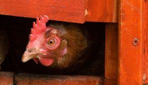 chicken coop safety security