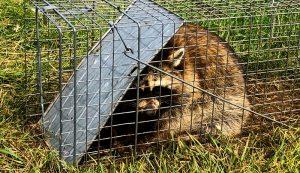 predator chicken chickens raccoon