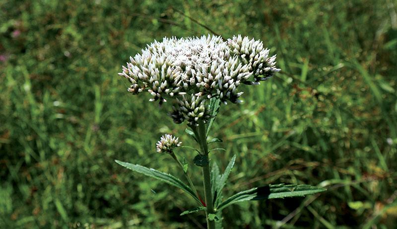 boneset healing herbs pain relief