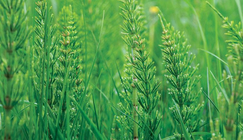 horsetail healing herbs pain relief