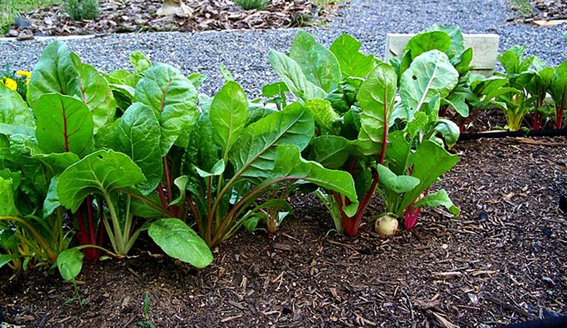 no-till garden mulch beets