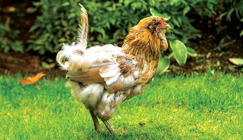 molting chicken chickens