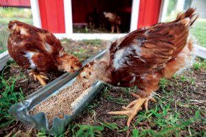 Shutterstock molting chicken chickens