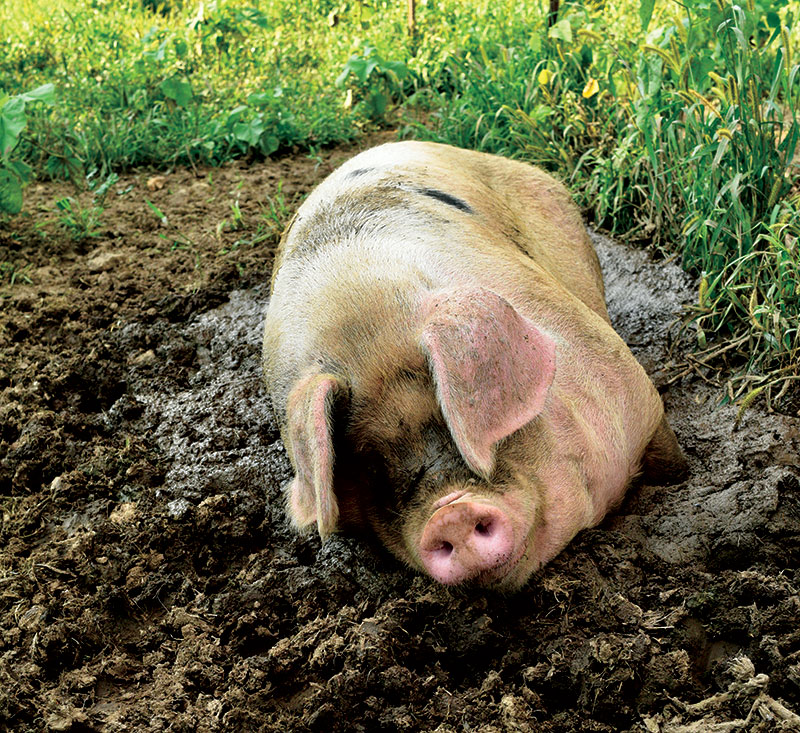 pigs Gloucestershire Old Spot breed