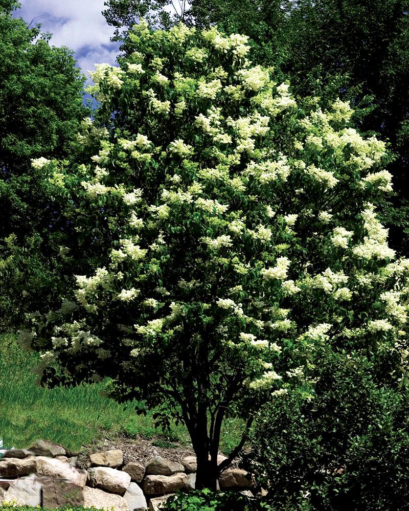 fall trees ivory silk lilac tree