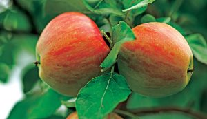 fall trees honeycrisp apple tree