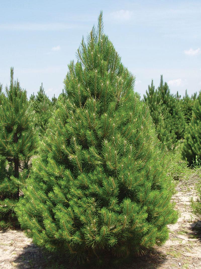 fall austrian pine tree