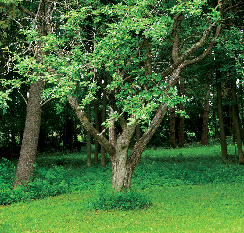 duchess of oldenburg apple tree orchards
