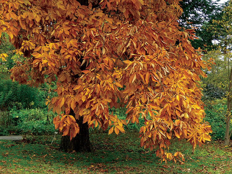shagbark hickory cold weather orchards