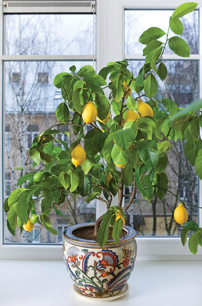 lemon citrus tree