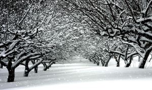 cold weather region orchards trees snow