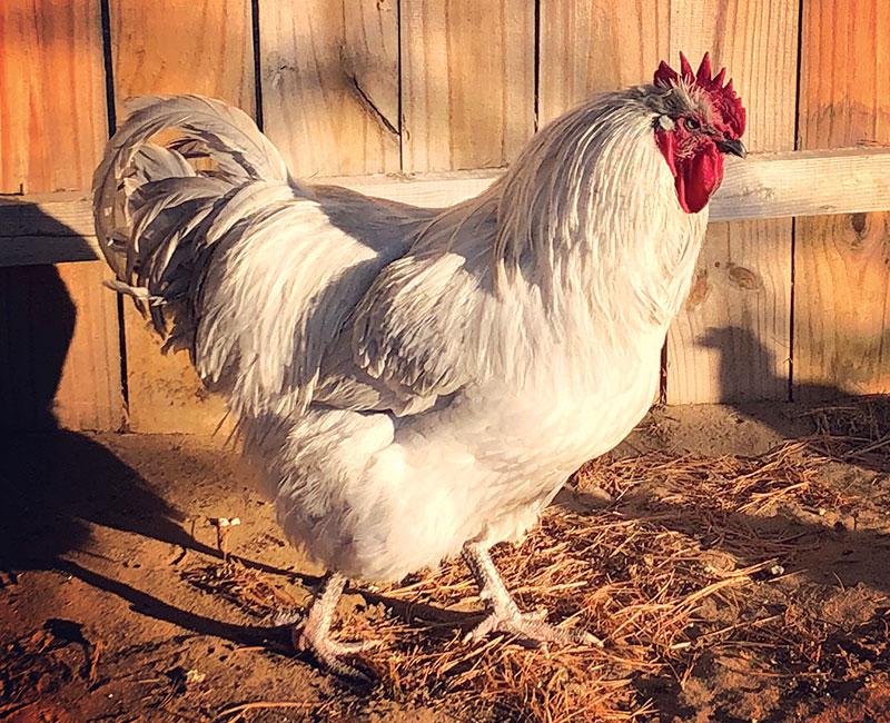 lavender orpington chicken rooster