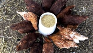 rhode island red gold star chickens
