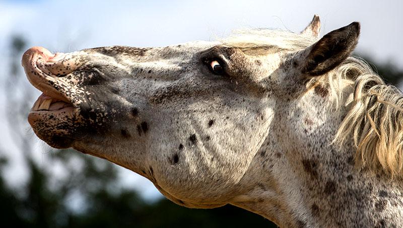 livestock taste smell horse flehmen