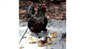 ybor city chickens hen chicks