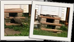 nuisance wild animals groundhog