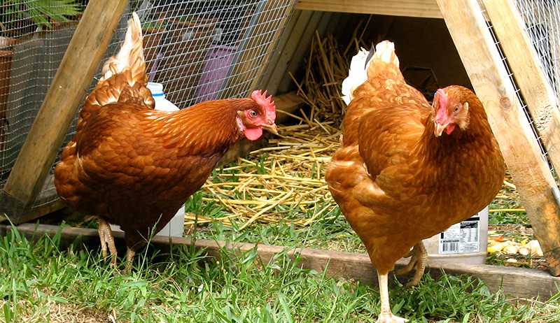 ISA Brown chicken breed
