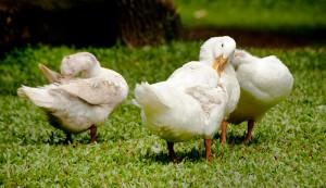 ducks preening