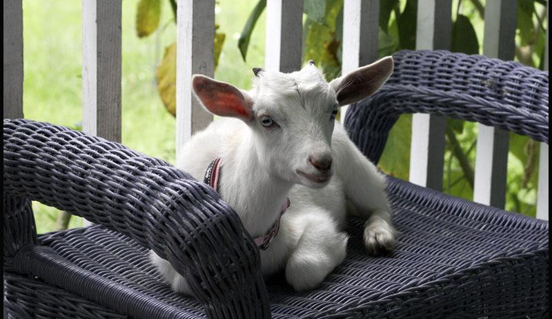 pygmy goats companions