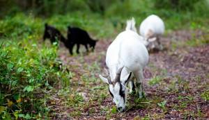 working goat