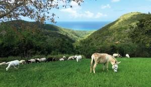 silvopastured sheep and donkey