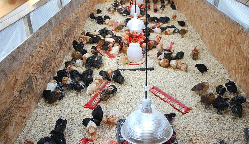 chicks in brooder