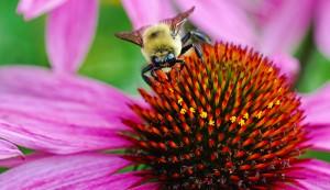 bee on coneflower