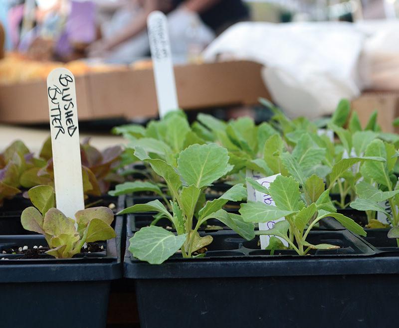 cold-crop seedlings