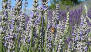 honey pollinating lavender
