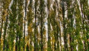 poplar windbreak