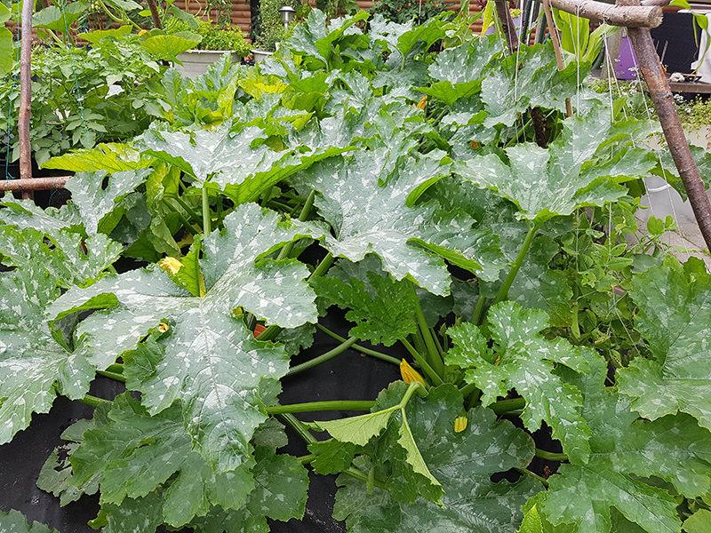 zucchini grown in plasticulture