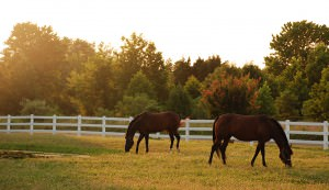horses on pasture with farm horse fence in background