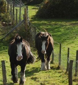 Clydesdale horses along fenceline