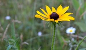wildflower I.D. - black-eyed Susan