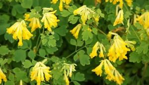 perennials - yellow bleeding heart
