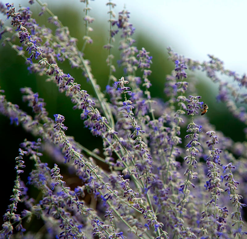 perennial plant - Russian sage