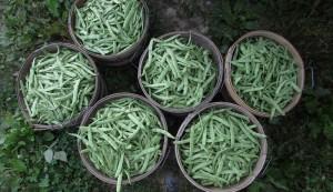 beans for CSA members