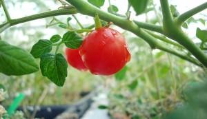 tomatoes grown in Martian soil