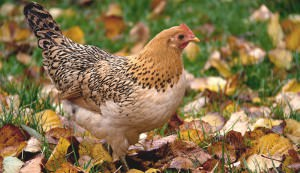 chicken in fall
