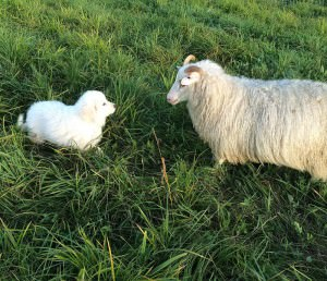 Icelandic sheep and farm dog