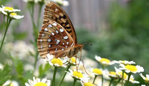 butterfly, garden