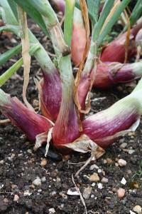 shallots in garden
