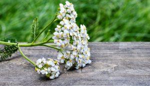 yarrow herb wild flower plant